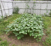 southern peas organic gardener orlando