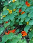 Nasturtiums gardening service in orlando