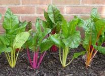 organic gardener orlando for chard